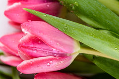 Spring Wet Tulips Royalty Free Stock Image