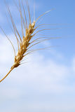 Spring Wheat Royalty Free Stock Image