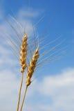 Spring Wheat Stock Image