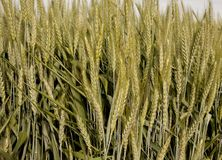Spring wheat background close Royalty Free Stock Photography