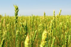 Spring Wheat Crop. A commercial crop of spring wheat, weeks from harvest. Spring Wheat is a specific cerial grain variety, sown early in the year Stock Photos
