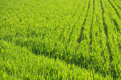 Spring Wheat Field Stock Images
