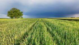 Spring wheat field landscape with path stock photography