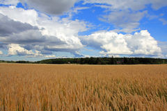 Spring Wheat Field and Sky Royalty Free Stock Photo