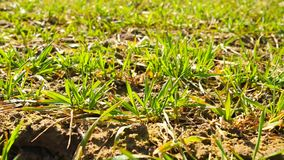 Spring wheat field, small young plants moving in the wind. Moved wheat leaves by irregular breeze, spring in agriculture. Spring wheat field, small young plants stock footage