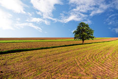 Spring wheat fields Royalty Free Stock Images