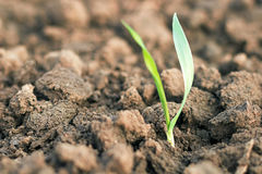 Spring wheat seedling. Growth concept. Stock Photos