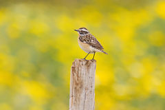 Spring Whinchat Royalty Free Stock Photography