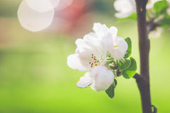 Spring white apple blossom background Royalty Free Stock Images