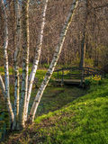 Spring White Birch Stock Photo