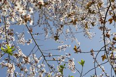 The spring white blossom  against blue sky. Almond tree at spring, fresh white flowers on the branch of fruit tree. The spring white blossom against blue sky Royalty Free Stock Image