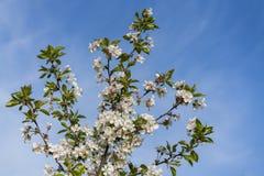 Spring white blossom against blue sky. cherry blossom flower full bloom in blue sky spring season.  stock photos