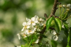 Spring white blossom apple tree flowers Stock Images
