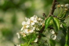 Spring white blossom apple tree flowers Stock Images