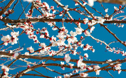 Spring white blossom tree. Spring white blossom branches on blue sky as background Royalty Free Stock Photo