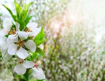 Spring white blossom Royalty Free Stock Photography