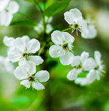 Spring white blossom cherry tree flowers Stock Photos