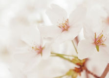 Spring white blossom flower close up Royalty Free Stock Image
