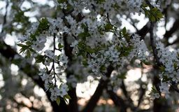 Spring white blossom at the garden royalty free stock photography