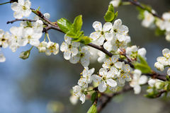 Spring white blossom plum tree Royalty Free Stock Photo