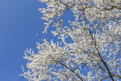 Spring white blossom. On a tree in front of a blue sky Royalty Free Stock Images