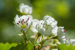 Spring white blossom Stock Photo