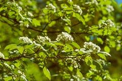 Spring white blossom Stock Images