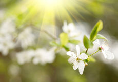 Spring white blossoms Royalty Free Stock Photography
