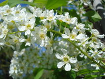Spring white blossoms. Wild black cherry blossoms in spring Stock Image