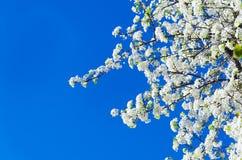 Spring white cherry flowers Royalty Free Stock Photos