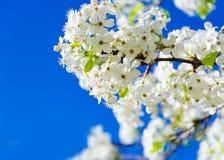 Spring white cherry flowers Stock Photos
