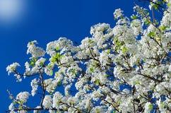Spring white cherry flowers Royalty Free Stock Photo
