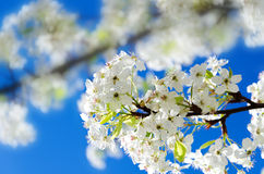 Spring white cherry flowers Stock Images