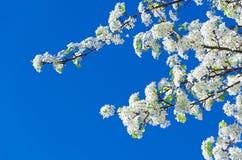 Spring white cherry flowers Stock Image