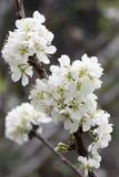 Spring white cherry sakura Stock Image