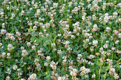 Spring white clover field. Seasonal nature background. White clover field in Central New Jersey in early June. repetition pattern flowers,weeds, lucky charms royalty free stock image
