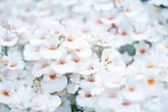 Spring White crocus Flowers on white background. stock photos