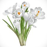 Spring white crocuses on the vine Stock Photos