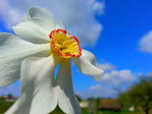 Spring white daffodils Royalty Free Stock Photography