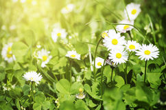 Spring White Daisies Stock Photography