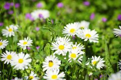 Spring White Daisies Stock Images