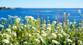 Spring white daisy flowers with bright sun light at coast Stock Images