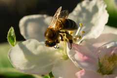 Spring white flower and bee. Bee on a flower Stock Image