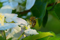 Spring white flower and bee. Bee on a flower Royalty Free Stock Photo