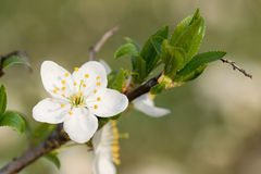 Spring white  flower. Everything blossom with white flowers. Spring is coming Stock Photos