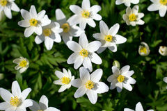 Spring white flowers - anemone nemorosa in garden Royalty Free Stock Image