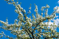 Spring white flowers on an apple tree. 2016 stock photo