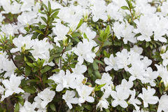 Spring White Flowers Royalty Free Stock Images