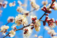 Spring white flowers and buds Royalty Free Stock Photos