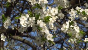 Spring white flowers of a cherry tree in the wind 4K.  stock footage